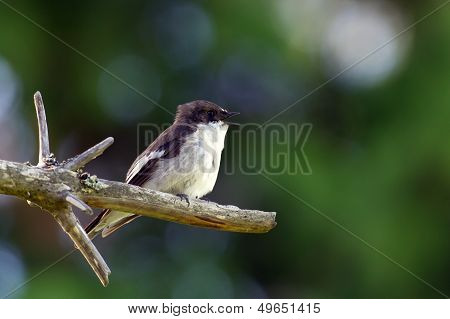 European Pied Flycatcher (Ficedula Hypoleuca), Ad Male