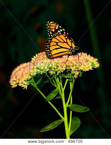 Monarch Butterfly 3
