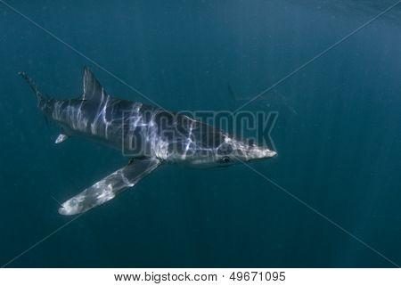 Blue Shark's Long Fin