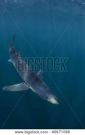Why a blue shark is called a blue shark