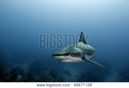 The Caribbean Reef Shark