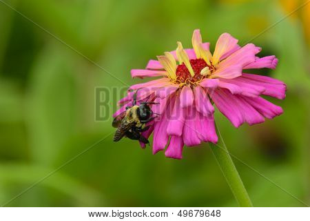 Bee On Pink Zinnia