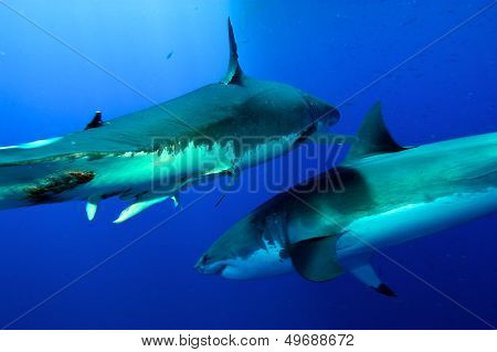 two white sharks