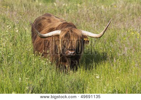Highland Cattle in Uk field