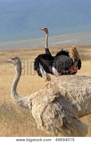 Couple Of Ostriches