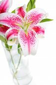 image of stargazer-lilies  - Beautiful pink stargazer lilies in vase on white background - JPG
