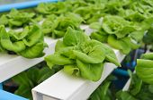 foto of hydroponics  - Hydroponics grow vegetables is without using soil - JPG