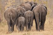 stock photo of calf  - Breeding herd of rear end elephant walking away int the trees - JPG