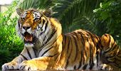 stock photo of tigress  - Tiger is Sitting in a Zoo, Istanbul