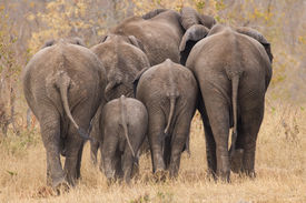 pic of bum  - Breeding herd of rear end elephant walking away int the trees - JPG