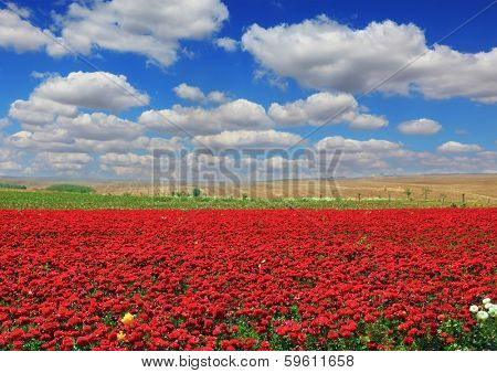 Boundless rural field with flowers red garden buttercups. Flowers are grown for sale and trade.  Cumulus clouds float across the sky