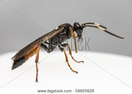 Ichneumon Wasp (Coelichneumon viola)