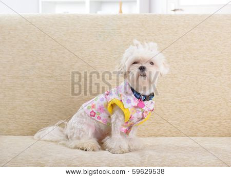 Cute young Maltese sitting on sofa in home, modern apparel