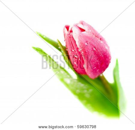 Tulip On White