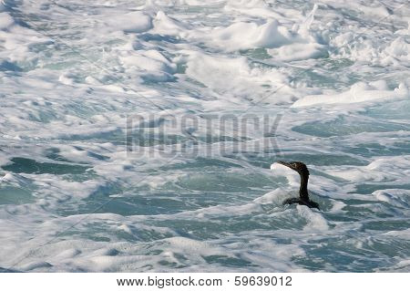 Cape Cormorant  Swim In Foam Water.
