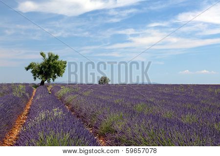Tree in the rows of scented flowers in the lavender fields of the French Provence near Valensole