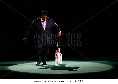 NEW YORK-FEB 11: Sky, a wire fox terrier, with handler Gabriel Rangel wins 'best in show' at the 138th Westminster Kennel Club Dog Show at Madison Square Garden on February 11, 2014  in New York City.