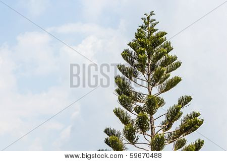 Araucaria Chilensis Tree