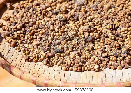 Civet feces with embedded coffee beans - Weasel coffee (Kopi Luwak or Civet coffee)