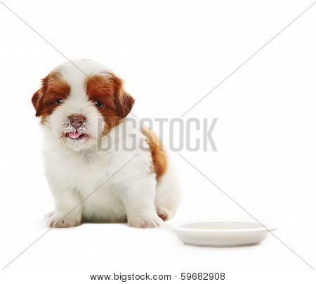Face Of Adorable Baby Shih Tzu Pedigree Dog Eating Milk From Dish Bowl And   Watching To Camera With