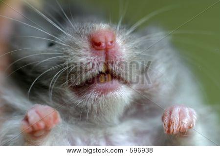 Hamster Closeup.