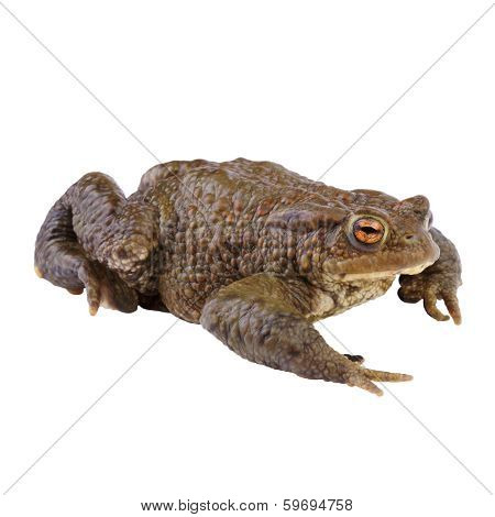 Common Toad or european Toad (Bufo bufo) isolated on white