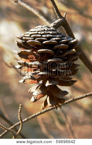 pinecone after bushfire
