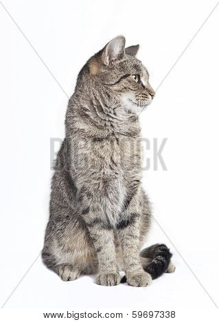 Tabby Cat Looking To The Side
