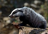 pic of badger  - Badger near its burrow in the forest - JPG