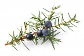 stock photo of juniper-tree  - Juniper berry - JPG