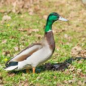 stock photo of male mallard  - Male mallard standing on grass Anas platyrhynchos - JPG