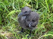 Chick Of Brown Noddy
