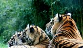 pic of endangered species  - sumatra tiger mother and two young kids