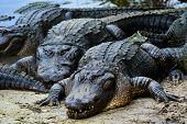 stock photo of alligator baby  - Alligators - JPG