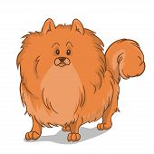 stock photo of pomeranian  - Pomeranian cute hairy red dog - JPG