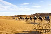 foto of desert animal  - Camel caravan going through the sand dunes in the Sahara Desert - JPG