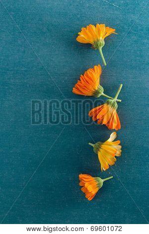 Pot Marigolds or English Marigolds (Calendula officinalis), fresh blossoms