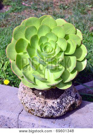 Crassula.succulent .