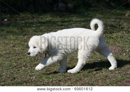 Gorgeous White Puppy Of Slovakian Chuvach Running