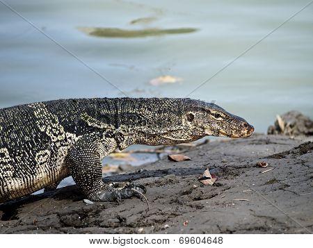Iguana Horribly Walk