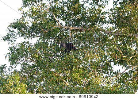 Binturong Or Bearcat (arctictis Binturong)
