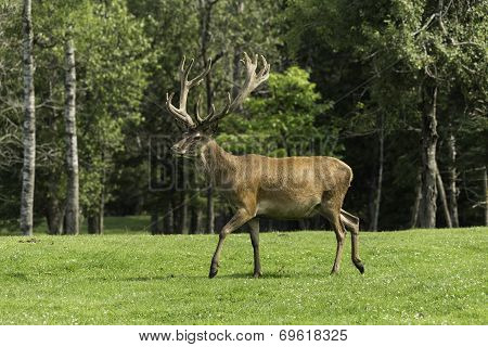 Wapiti in a field