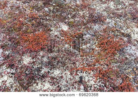 Arctic Tundra Vegetation