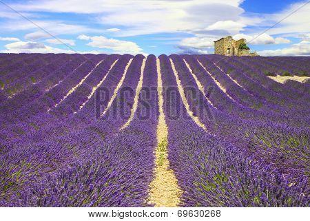 beautiful lines of lavander fields, Provance, France
