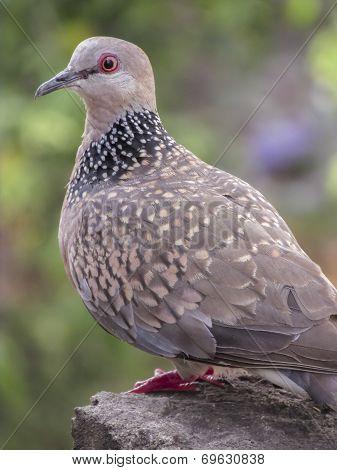 Confused dove portrait