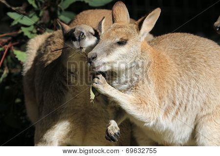 Wallaby COnversation