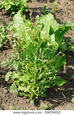 Horseradish (cochlearia Armoracia)  Blossom On Green Leaves Background