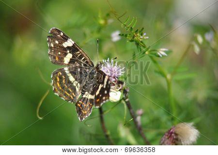 Araschnia levana butterfly summer generation