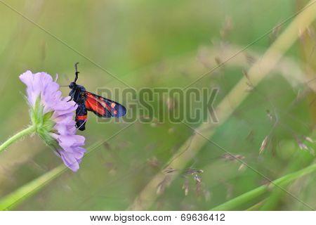 Zygaena ephialtes butterfly