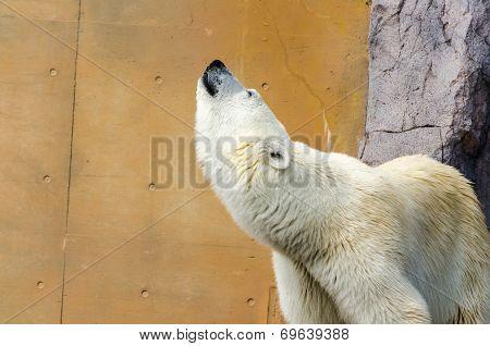 White Polar Bear Whine.